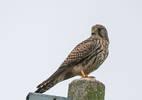 Gheppio Falco
