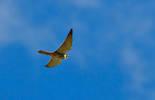 Falco Lodaiolo (Columbarius)