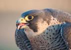Falco Pellegrino Scozzese