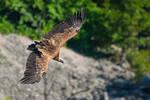 Avvoltoio Grifone