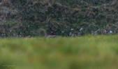 Cervo nobile (Cervus elaphus)