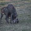 Cervo nobile (Corvus elaphus)