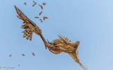 Giovane Astore (Accipiter gentilis)