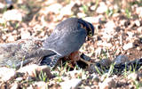 Falco Aplomado