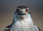 Falco Astore