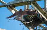 Gheppio 2013 femmina ritorna al nido