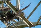 Gheppi 2013 femmina ritorna al nido