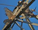 Falco, Gheppio Femmina