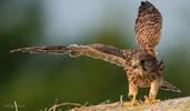 Falco Gheppio