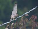 Gheppio Falco ( Tinnunculus)