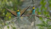 Gruccione ( Merops apiaster )