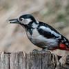 Picchio rosso minore (Dendrocopos minor)
