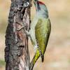 Picchio cenerino (Picus canus)