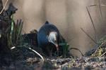 Porciglione  (Rallus aquaticus)