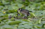 Svasso maggiore (Podiceps cristatus)